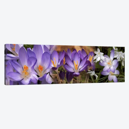 Details of early spring & crocus flowers Canvas Print #PIM10551} by Panoramic Images Canvas Art