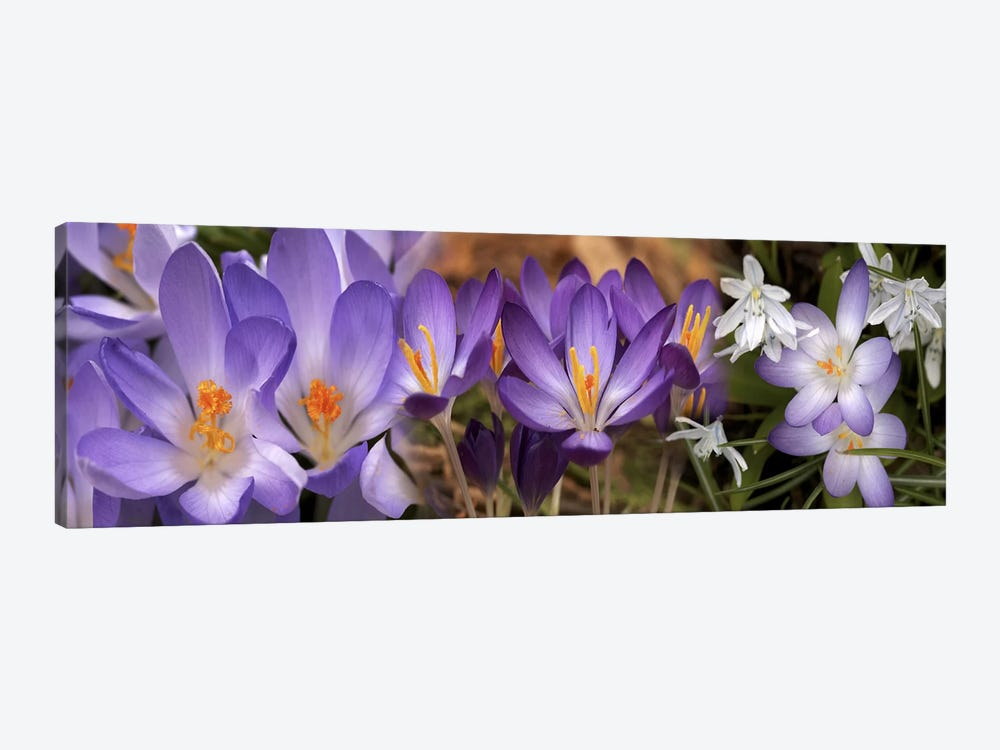 Details of early spring & crocus flowers by Panoramic Images 1-piece Canvas Artwork