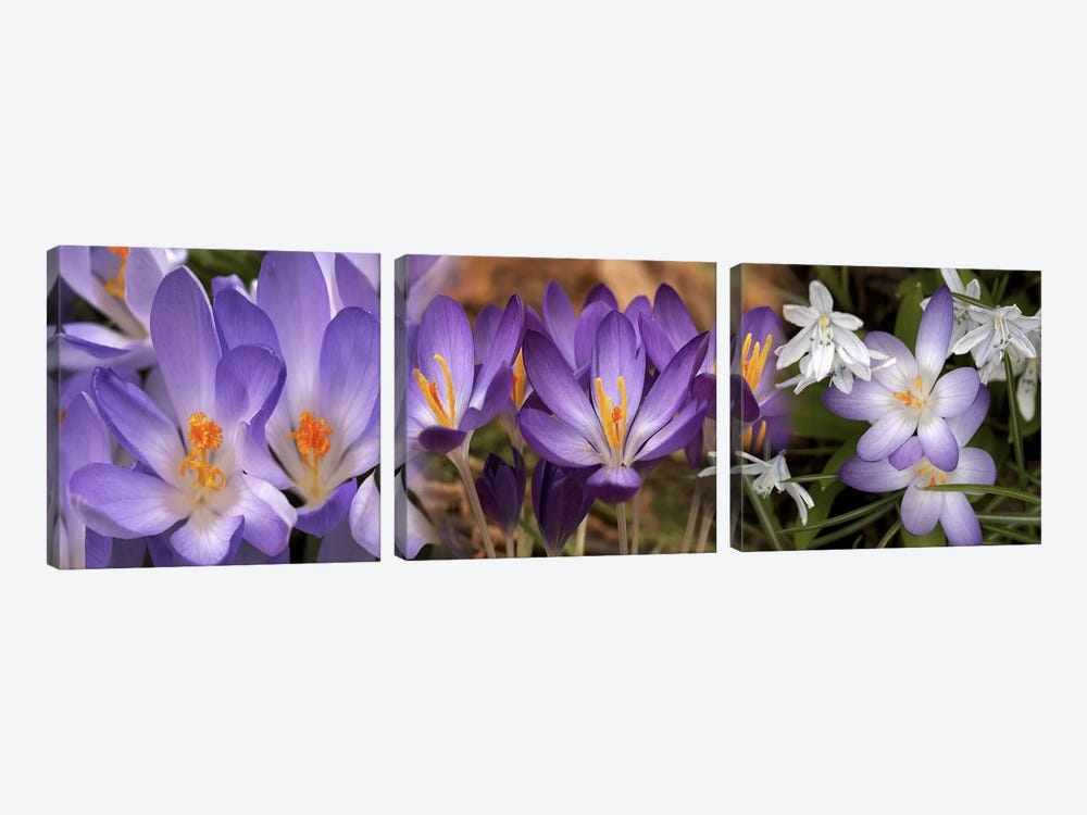 Details of early spring & crocus flowers by Panoramic Images 3-piece Canvas Art
