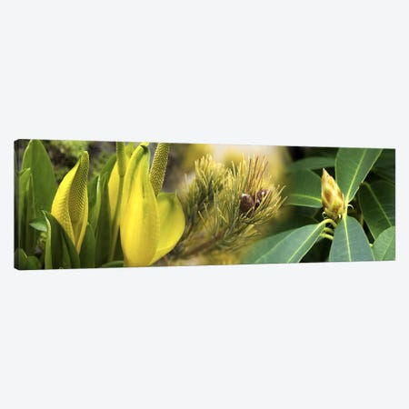 Close-up of buds of pine tree Canvas Print #PIM10555} by Panoramic Images Canvas Print