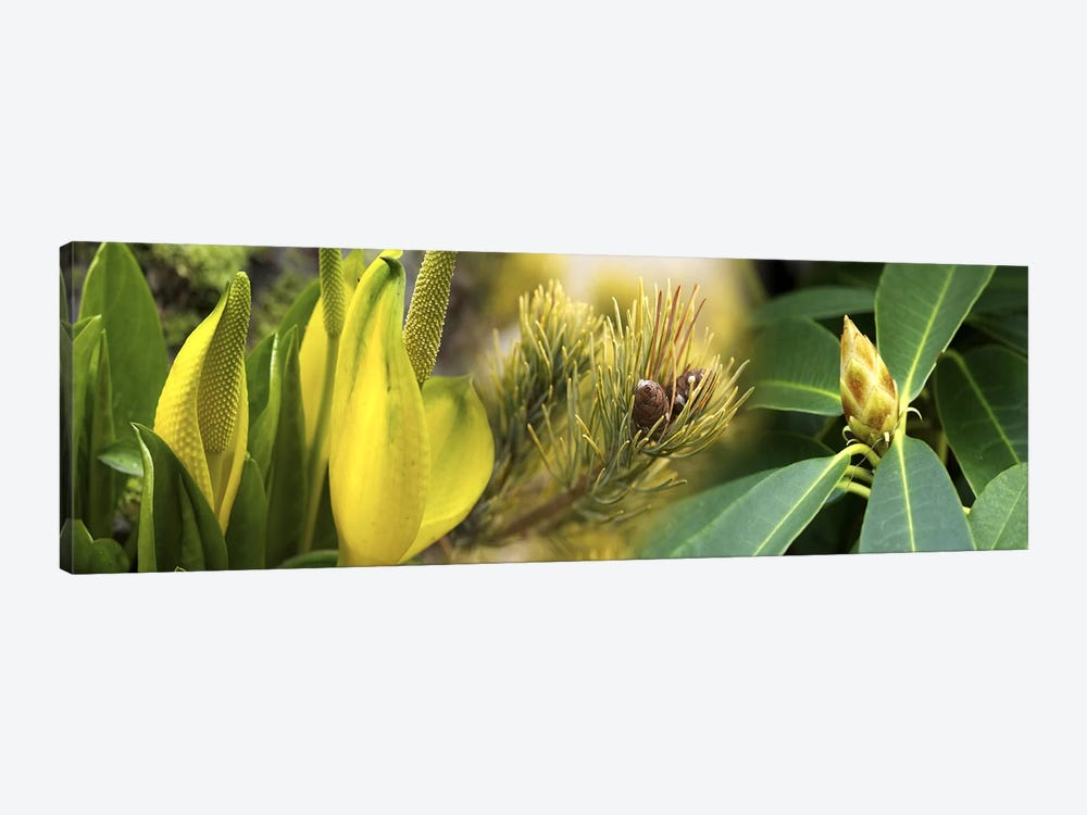 Close-up of buds of pine tree by Panoramic Images 1-piece Canvas Artwork
