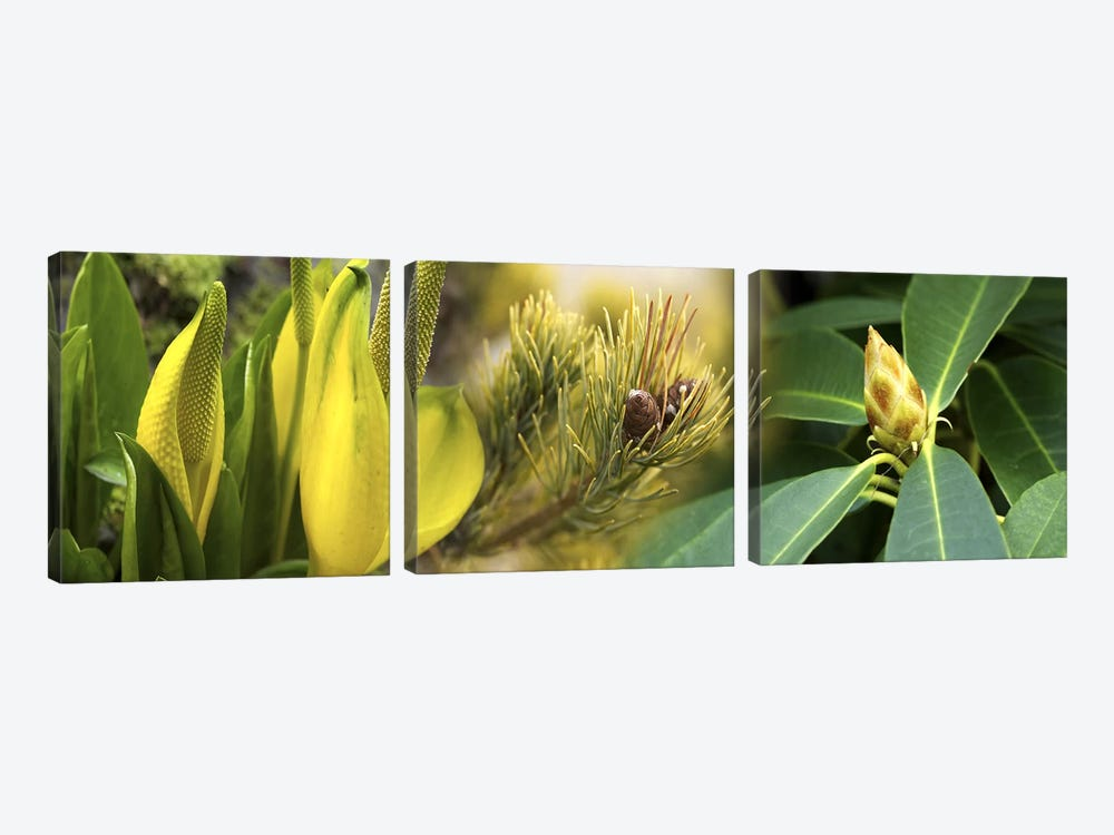 Close-up of buds of pine tree by Panoramic Images 3-piece Canvas Art