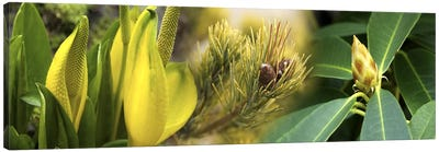 Close-up of buds of pine tree Canvas Art Print