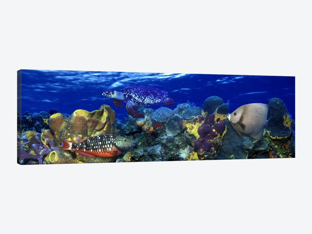 Stoplight parrotfish (Sparisoma viride) with a Hawksbill Turtle (Eretmochelys Imbricata) underwater by Panoramic Images 1-piece Canvas Art