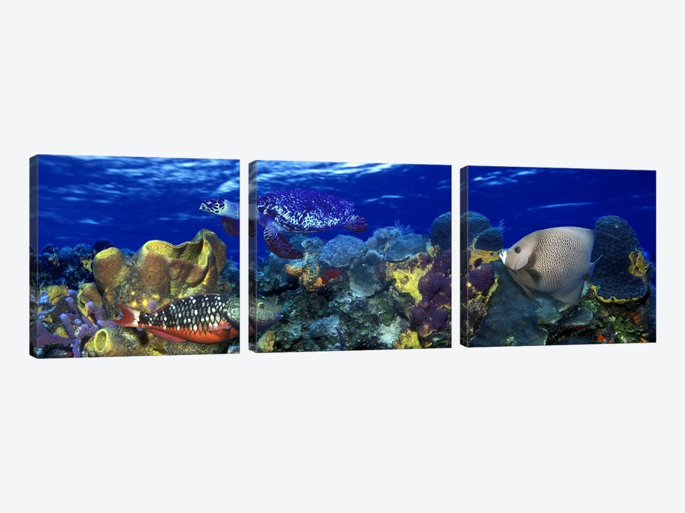 Stoplight parrotfish (Sparisoma viride) with a Hawksbill Turtle (Eretmochelys Imbricata) underwater by Panoramic Images 3-piece Canvas Art