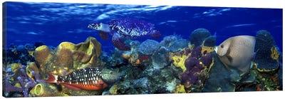 Stoplight parrotfish (Sparisoma viride) with a Hawksbill Turtle (Eretmochelys Imbricata) underwater Canvas Art Print