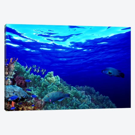 Underwater view of Longfin bannerfish (Heniochus acuminatus) with Red Firefish (Nemateleotris magnifica) and soft corals Canvas Print #PIM10564} by Panoramic Images Canvas Wall Art