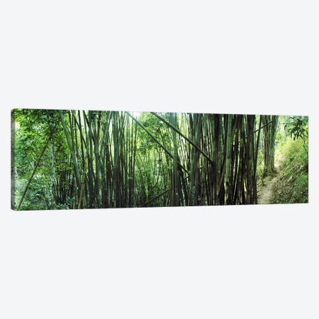 Bamboo forest, Chiang Mai, Thailand #3 Canvas Print #PIM10618} by Panoramic Images Art Print