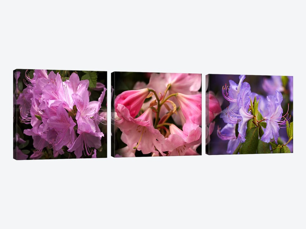 Colorful rhododendrons flowers by Panoramic Images 3-piece Canvas Art Print