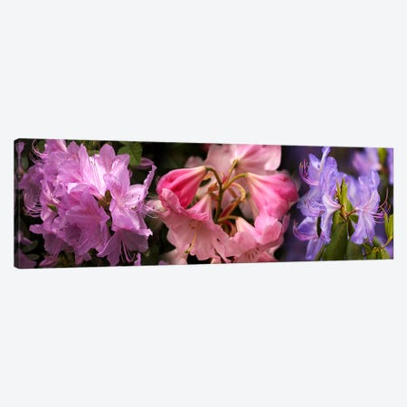 Colorful rhododendrons flowers 3-Piece Canvas #PIM10728} by Panoramic Images Canvas Print
