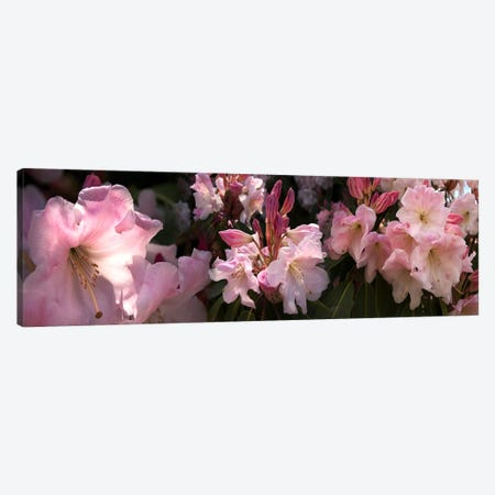Close-up of pink rhododendron flowers Canvas Print #PIM10731} by Panoramic Images Canvas Wall Art