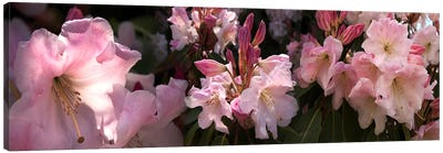 Close-up of pink rhododendron flowers Canvas Print #PIM10731