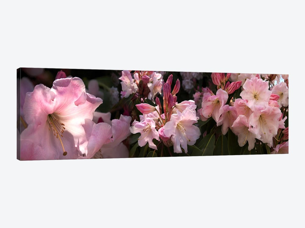 Close-up of pink rhododendron flowers by Panoramic Images 1-piece Canvas Art Print