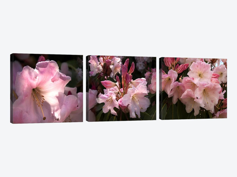 Close-up of pink rhododendron flowers by Panoramic Images 3-piece Art Print