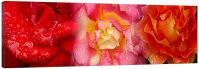Close-up of three Rose flowers Canvas Art Print