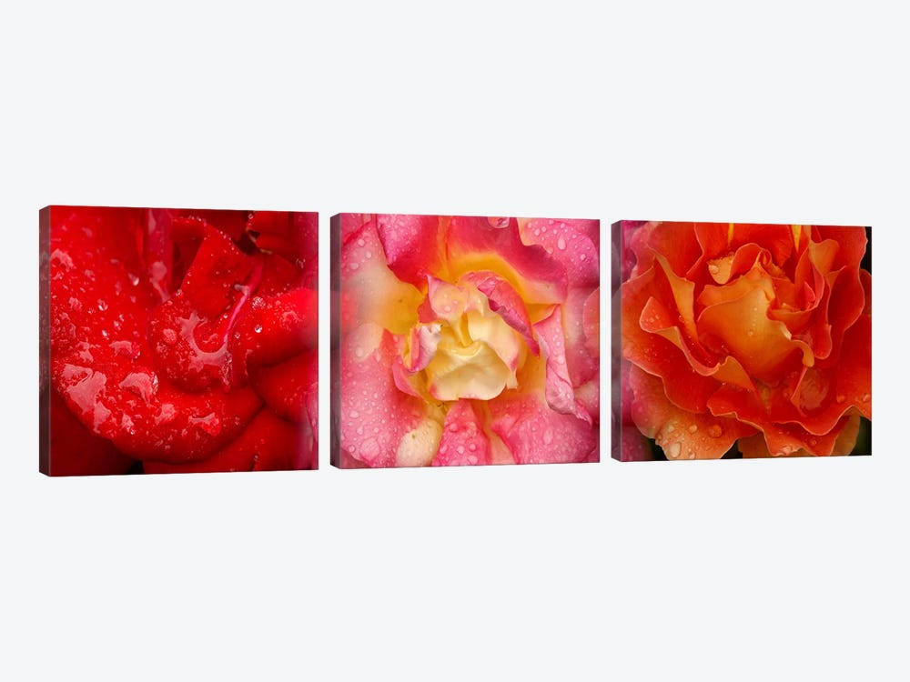 Close-up of three Rose flowers by Panoramic Images 3-piece Canvas Artwork