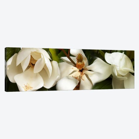Close-up of white magnolia flowers Canvas Print #PIM10738} by Panoramic Images Canvas Wall Art