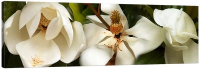 Close-up of white magnolia flowers Canvas Art Print