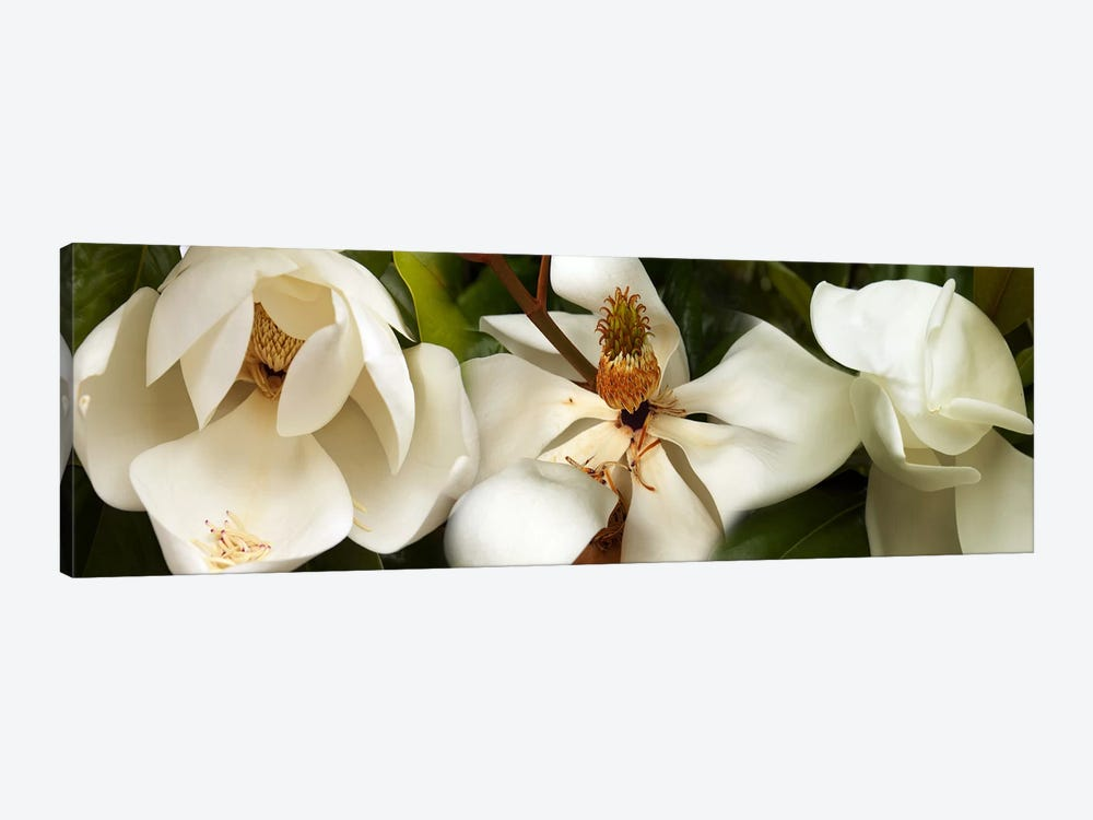 Close-up of white magnolia flowers 1-piece Canvas Wall Art