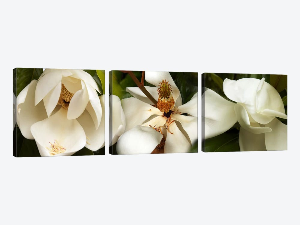 Close-up of white magnolia flowers 3-piece Canvas Art