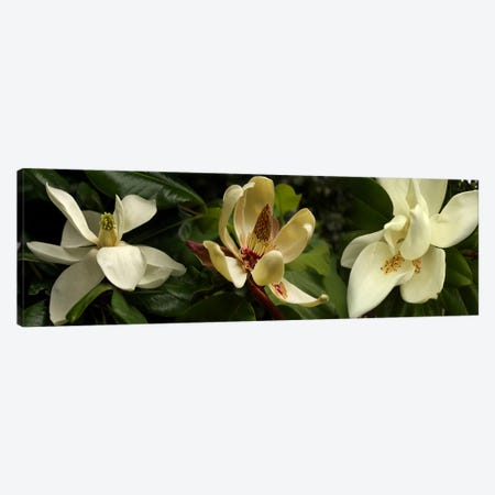 Close-up of magnolia flowers Canvas Print #PIM10739} by Panoramic Images Canvas Wall Art