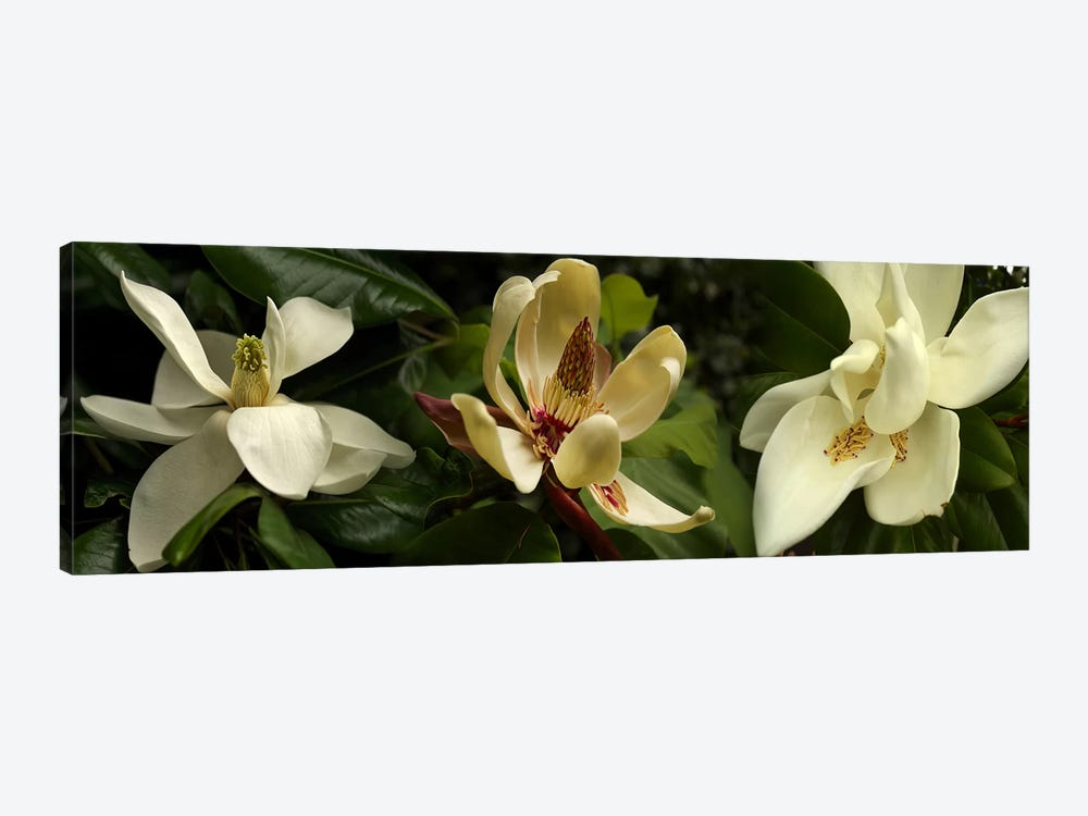 Close-up of magnolia flowers by Panoramic Images 1-piece Canvas Print