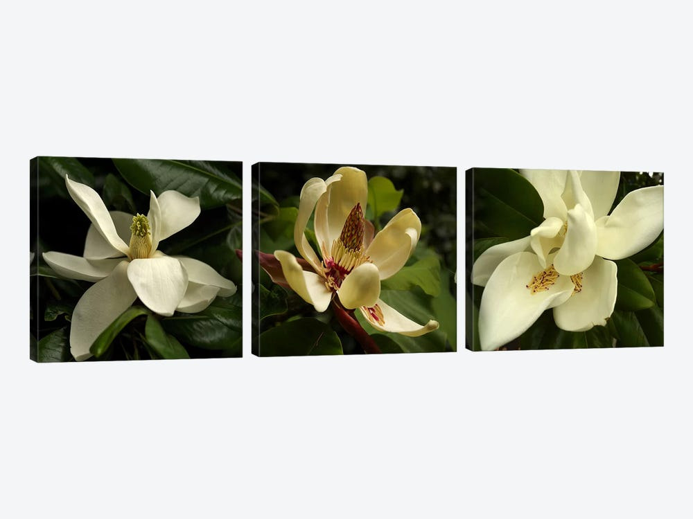 Close-up of magnolia flowers by Panoramic Images 3-piece Canvas Art Print
