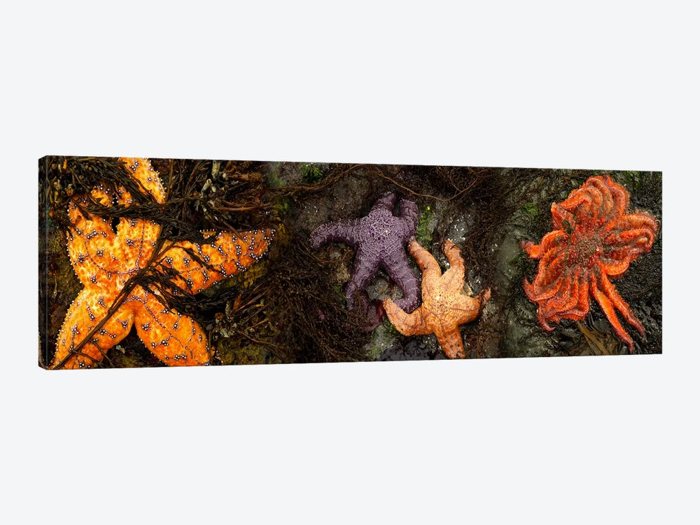 Sea stars by Panoramic Images 1-piece Canvas Art Print