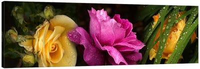 Close-up of roses Canvas Print #PIM10743
