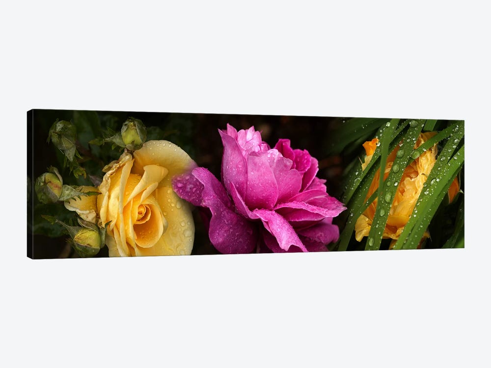 Close-up of roses by Panoramic Images 1-piece Canvas Wall Art