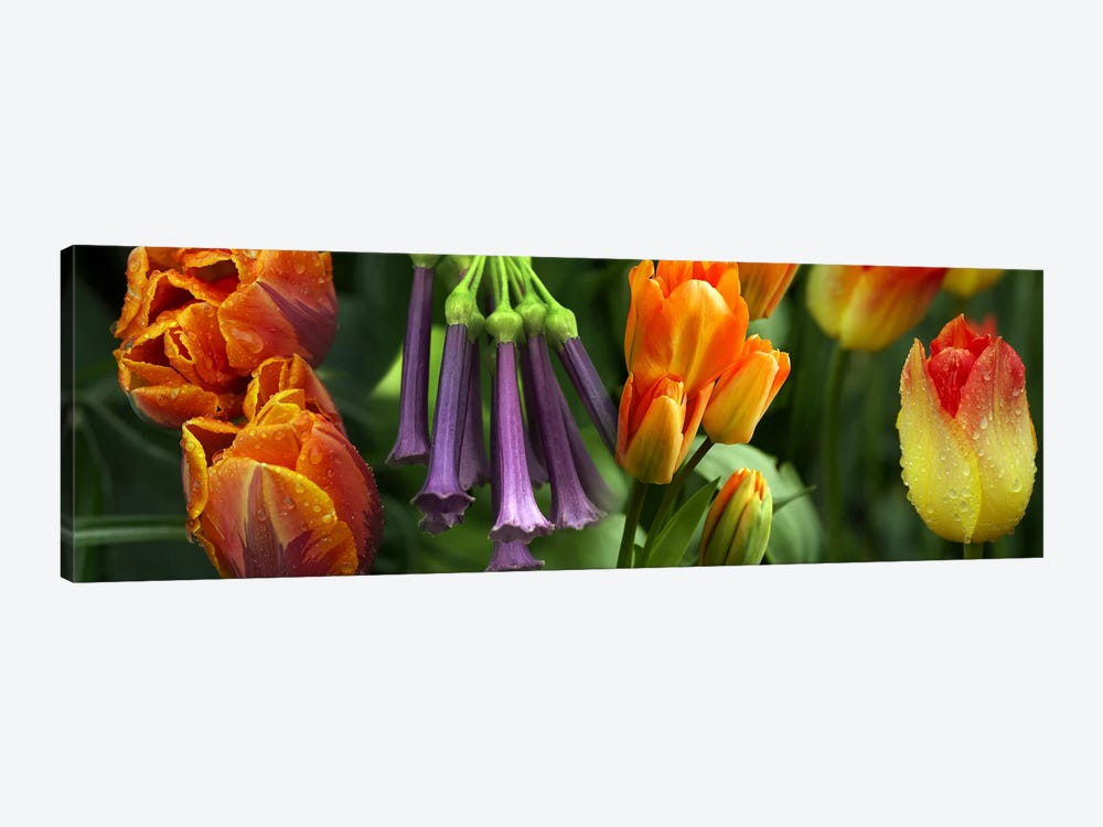 Close-up of orange & purple flowers by Panoramic Images 1-piece Canvas Print