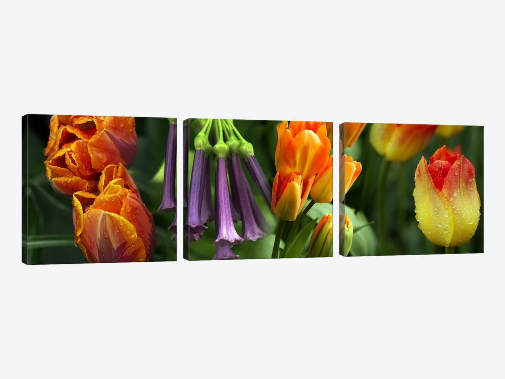 Close-up of orange & purple flowers by Panoramic Images 3-piece Canvas Art Print