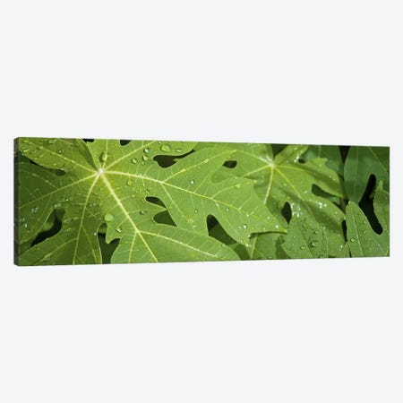 Raindrops on papaya tree leaves, La Digue, Seychelles Canvas Print #PIM10771} by Panoramic Images Canvas Art
