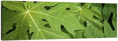 Raindrops on papaya tree leaves, La Digue, Seychelles Canvas Print #PIM10771