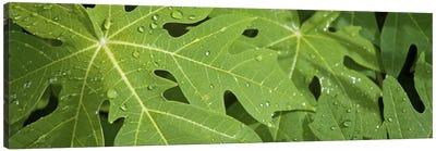 Raindrops on papaya tree leaves, La Digue, Seychelles Canvas Print #PIM10771