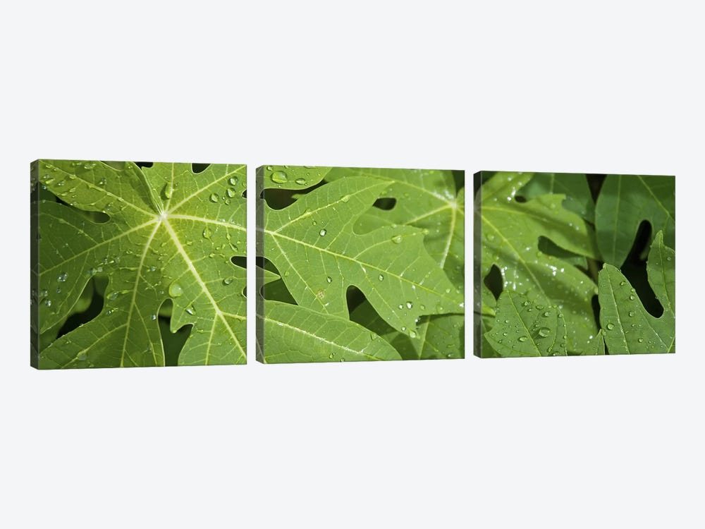 Raindrops on papaya tree leaves, La Digue, Seychelles by Panoramic Images 3-piece Canvas Print