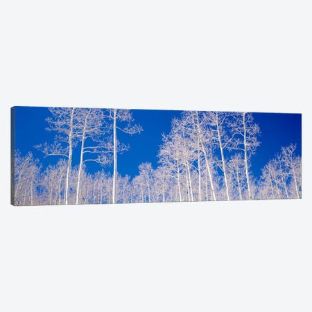 Low angle view of aspen trees in a forest, Utah, USA Canvas Print #PIM1093} by Panoramic Images Canvas Artwork