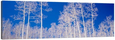 Low angle view of aspen trees in a forest, Utah, USA Canvas Art Print