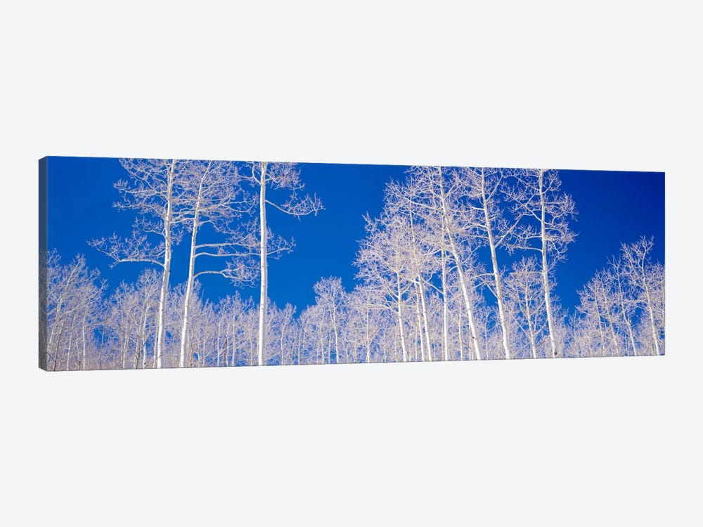 Low angle view of aspen trees in a forest, Utah, USA by Panoramic Images 1-piece Canvas Artwork