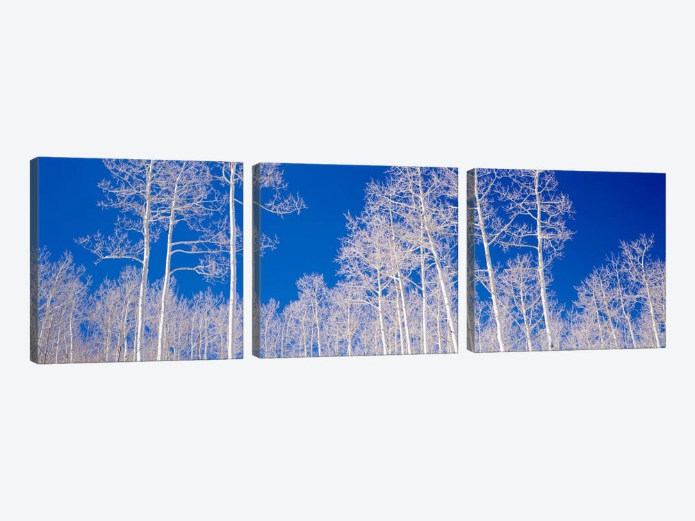 Low angle view of aspen trees in a forest, Utah, USA by Panoramic Images 3-piece Canvas Art
