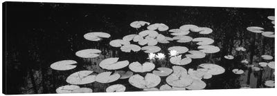 High angle view of water lilies in a lake, Suwannee Canal, Okefenokee National Wildlife Refuge, Georgia, USA Canvas Print #PIM11006