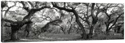 Oak Trees In A Forest, Lake Kissimmee State Park, Florida, USA Canvas Art Print
