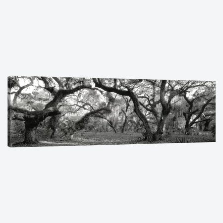 Oak Trees In A Forest, Lake Kissimmee State Park, Florida, USA Canvas Print #PIM11033} by Panoramic Images Canvas Art