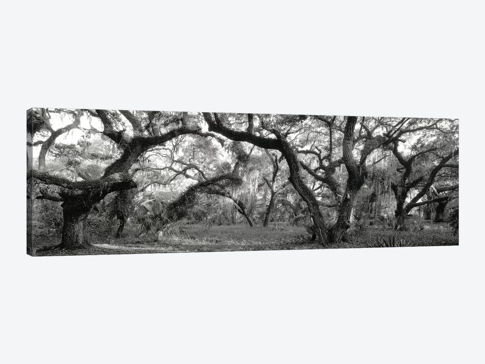 Oak Trees In A Forest, Lake Kissimmee State Park, Florida, USA by Panoramic Images 1-piece Canvas Artwork