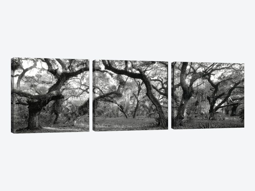 Oak Trees In A Forest, Lake Kissimmee State Park, Florida, USA 3-piece Canvas Artwork