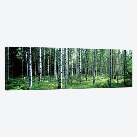 White Birches Aulanko National Park Finland Canvas Print #PIM1114} by Panoramic Images Canvas Wall Art