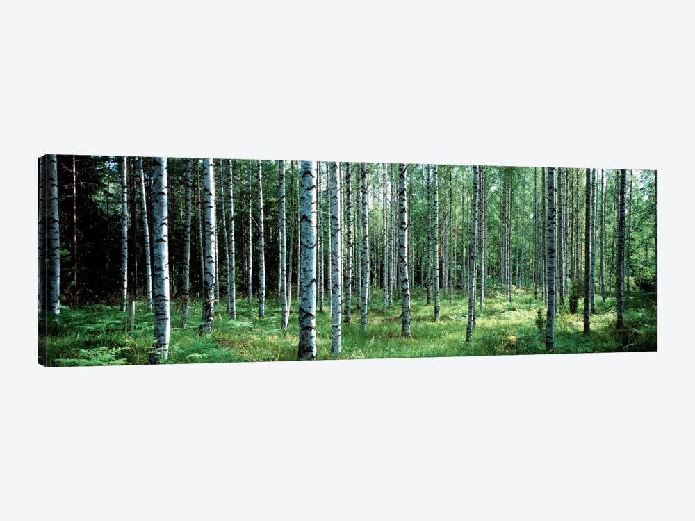 White Birches Aulanko National Park Finland by Panoramic Images 1-piece Canvas Artwork