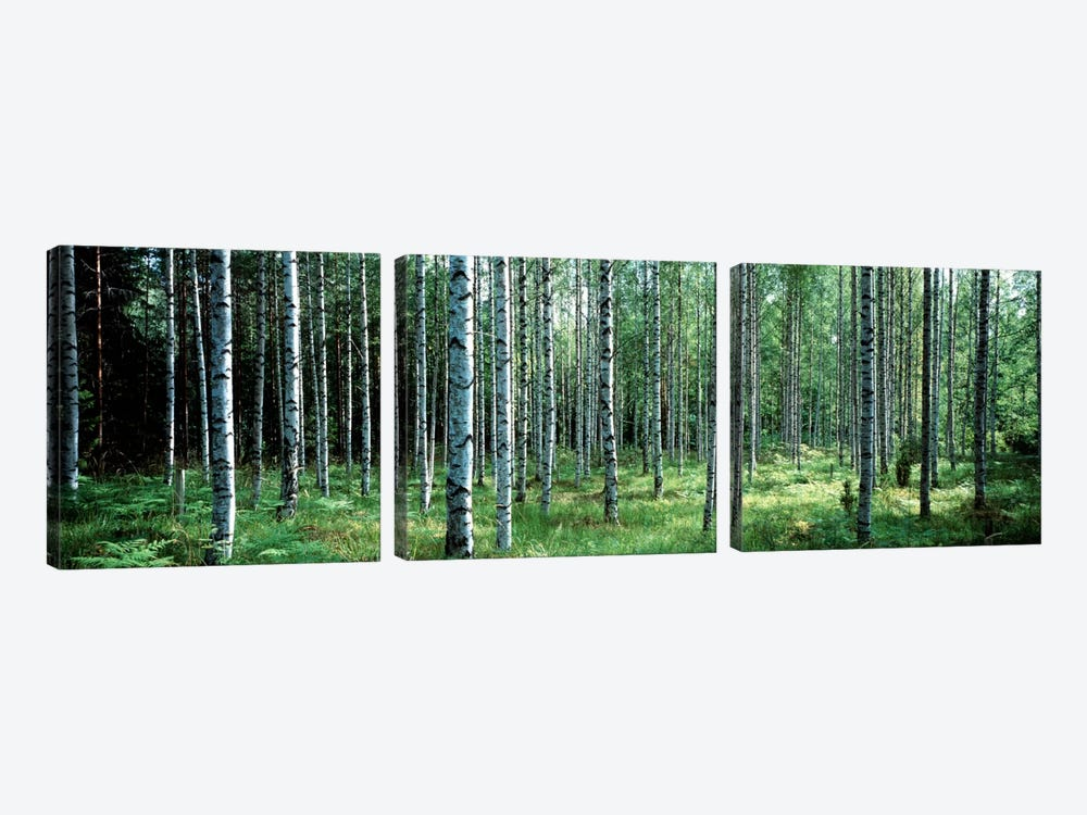 White Birches Aulanko National Park Finland by Panoramic Images 3-piece Canvas Art