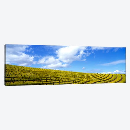 Mustard Fields, Napa Valley, California, USA Canvas Print #PIM111} by Panoramic Images Canvas Art