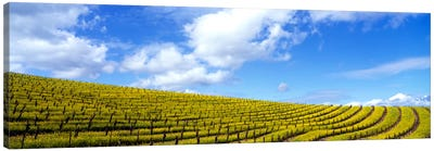 Mustard Fields, Napa Valley, California, USA Canvas Print #PIM111